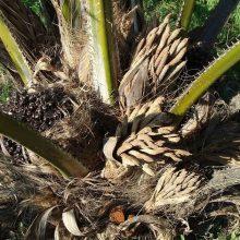 Las verdades sobre el aceite de palma